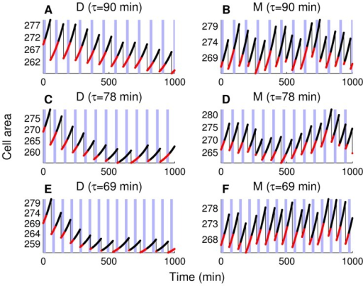 "Cell size trajectories for successive mother and daughter cells.Data is collected during the simulations with three different periods of forced CLN2 expression: 90 min (A) and (B), 78 min (C) and (D), and 69 min (E) and (F). Shaded blue areas show the time intervals with forced expression (without delay in the MET3 turn-on/turn-off as in Figure 3C of [7]). Unbudded parts of the trajectories are plotted with red, budded parts are black, and thin black lines represent division events. The correct order of cell cycle events is enforced during the simulations (Table S9). Daughter simulations (marked with ""D"") start from a daughter initial condition set, whereas mother simulations (marked with ""M"") start from a mother initial condition set. These initial condition sets are extracted from the endpoints of 2000 min simulations with no forced CLN2 expression."