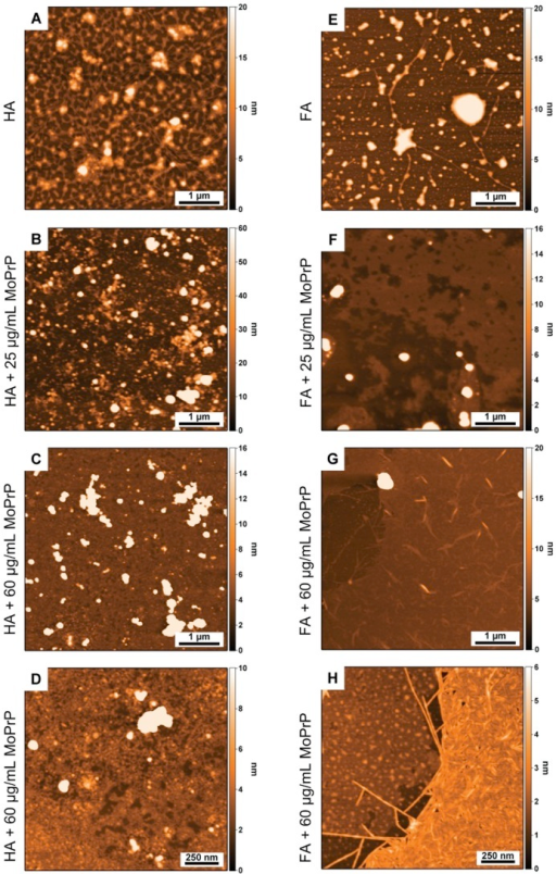 AFM characterization of HS and MoPrP-HS complexes.Surface morphology of HS alone (HA and FA in panels A and E, respectively) and HS complexes with 25 µg/mL of MoPrP (in panels B and F corresponding to MoPrP-HA and MoPrP-FA complexes, respectively) and with 60 µg/mL of MoPrP (in panels C and G with HA and FA, respectively). Panels D and H show high magnification images of the samples presented in panels C and G.