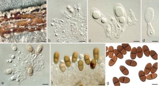 Dothiorella sempervirentis holotype. a. Conidiomata on poplar twigs in culture; b–d. hyaline immature conidia developing on conidiogenous cells; e, f. brown aseptate and 1-septate conidia attached to the conidiogenous cells; g. mature conidia. — Scale bars: a = 1 000 μm; b, e–g = 10 μm; c, d = 5 μm.