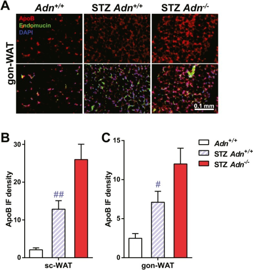 ApoB immunofluorescence in gonadal WAT with quantitation.(A) Representative co-immunofluorescence of apolipoprotein B (ApoB, red) and endomucin (green) on gonadal WAT. (B and C) Quantitation of ApoB immunofluorescence intensity volume normalized against tissue area in subcutaneous WAT (B) and gonadal WAT (C). n ≥ 3 mice per condition. Data are presented as the mean ± SEM. #p < 0.05, ##p < 0.01 for STZ-treated vs untreated Adn+/+. Related to Figure 3F.DOI:http://dx.doi.org/10.7554/eLife.03851.019