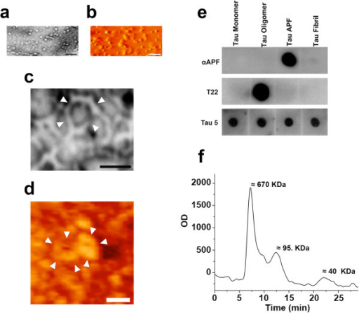 In vitroformation of tau APFs. Tau oligomers used to prepare tau APFs were characterized by EM (a) and AFM (b). Tau APFs were also imaged by EM (c) and AFM (d). Tau APFs were recognized by the αAPF antibody on dot blot, which did not recognize recombinant tau monomers, oligomers, or fibrils. Tau oligomers were recognized by T22, and all tau species were detected by Tau-5 (e). A distinct peak near 670 nm on HPLC revealed that tau APFs are formed by 10–12 tau monomers (f). The scale bars for a and b correspond to 100 nm, for c 20 nm, and for d 40 nm. White arrowheads indicate tau APF formation.