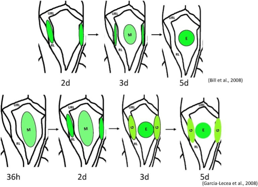 Schemata of formation of the choroid plexus of IV ventricle in zebrafish as revealed by analysis of different transgenics. Above– mn16Et, below – Gateways. The cytosolic GFP, first detected the lateral clusters, could be detected in the prospective epithelial cells of mn16Et at 3 dpf, i.e., after these coalesced toward the midline. This mimics events of the CP morphogenesis as hypothesized in mammals. In contrast, in the Gateway transgenics, the GFP is rather prominent in the midline cluster prior to its coalescence, i.e. during a stage of tela choroidea. Abbreviations: E, epidermal cells of the prospective choroid plexus of IV ventricle; G, glial cells of the prospective choroid plexus of IV ventricle; M, midline cluster; RL, rhombic lips; URL, upper rhombic lips.