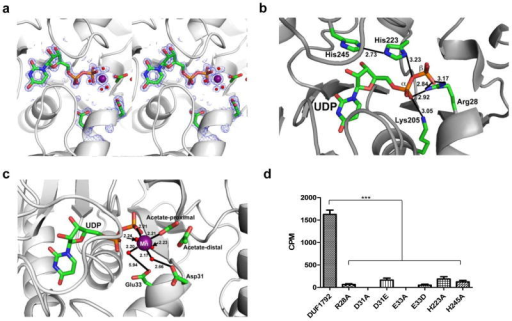 DUF1792 possesses UDP and Manganese binding sites(a) Cross-eyed stereo view showing the electron density of UDP and the manganese ion at the active site. The map shown is a simulated annealing composite omit electron density map calculated in Phenix and contoured at 2.0σ.(b) The UDP binding site. UDP and the amino acid residues involved in UDP binding are labeled and atomic distances are shown in Ångströms.(c) Manganese binding sites. Manganese and amino acid residues involved in manganese binding are shown and labeled. The atomic distances are shown in Ångströms.(d) Critical residues within UDP and metal binding sites required for glycosyltransferase activity of DUF1792. Site-direct mutagenesis was carried out to mutate critical residues that are involved in binding to UDP and Mn2+, the mutant DUF1792 protein variants were assayed for their in vitro glycosyltransferase activity. The value obtained from three different experiments represent means ± standard errors of the means. Significant differences were indicated by asterisks (*** P<0.001).