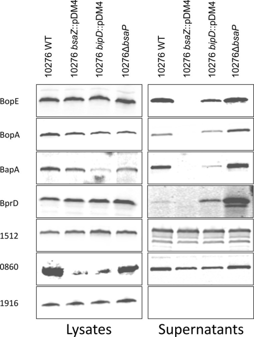 Western blot analysis of the expression and secretion of putative B. pseudomallei Bsa T3SS effector proteins expressed as c-Myc tagged fusion proteins. The coding region of bopE, bopA, BPSS0860, BPSS1512, BPSS1916, bprD, and bapA were expressed with a c-terminal c-Myc tag in the IPTG-inducible expression vector pME6032 in B. pseudomallei strains 10276 WT, 10276 bsaZ::pDM4, 10276 bipD::pDM4 or 10276 ΔbsaP. Supernatant and whole cell fractions were collected after 6 h of incubation at 37 °C in the presence of 0.5 mm IPTG. Equal quantities of protein were separated by reducing SDS-PAGE, blotted onto nitrocellulose membranes and probed using polyclonal rabbit α-c-Myc antibody.