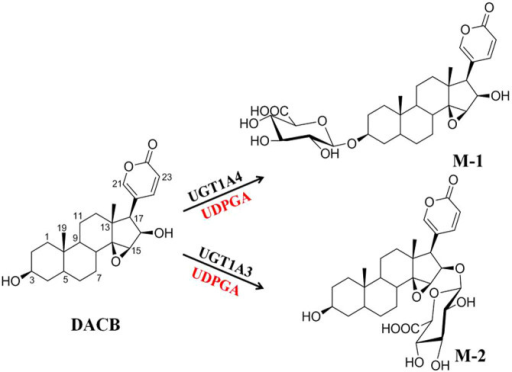 DACB 3β- and 16β-O-glucuronidation by UGT1A4 and UGT1A3, respectively.