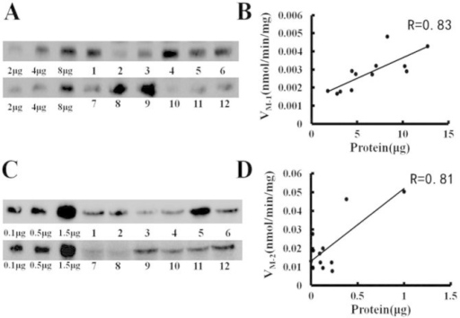 The correlation analysis between the expression of UGT isoforms and the DACB glucuronidation rate in individual HLMs.(A) Western blots of UGT1A3 in individual HLMs; (B) the correlation between UGT1A3 expression and DACB 16-O-glucuronidation rates in 12 individual HLMs; (C) Western blots of UGT1A4 in individual HLMs; (D) the correlation between UGT1A4 expression and DACB 3-O-glucuronidation rates in 12 individual HLMs.