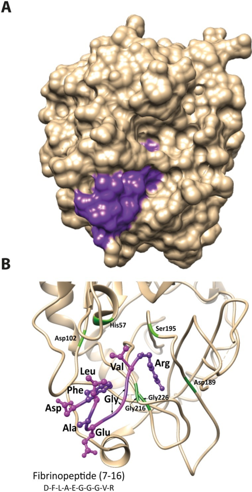 Schematic 3-D models of human thrombin showing the position of the N-terminal region of fibrinogen α chain.Panel A shows a space-filling model with the alpha chain peptide in purple. Panel B shows the interaction between thrombin (ribbon structure in beige) and the N-terminal region of fibrinogen α chain (ball and stick structure in purple) in detail. The same orientation as panel A is shown with the catalytic residues His57, Asp102 and Ser195 together with the S1 pocket residues Asp 189, Gly216 and 226 in green. Thrombin structure from PDB, code 1DM4 run using UCSF Chimera v1.8 and annotated in Adobe Illustrator CS5.