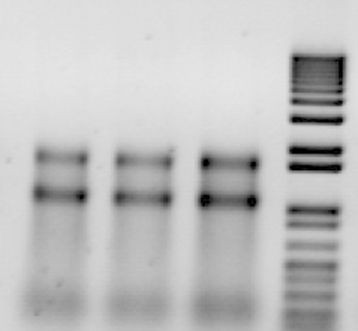 Electrophoretic profiles (agarose 1%) of 10 μL of the final RNA extract (step 15b of the protocol), and 12 μL of the 1 kb ladder (Invitrogen, France). Gel was stained with ethidium bromide.