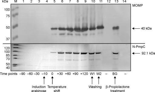 Cell lysates of EcN (pBGKB-MOMP, pGLysivb and pBGKB-N-PmpC, pGLysivb) were separated on a 4%–12% polyacrylamide gel and c-Myc-tagged MOMP and N-PmpC protein levels were determined by Western blot.Notes: Samples for lanes 1–3 were taken at sequential intervals (−90, −60, and −30 minutes) during exponential growth. Lane M shows molecular weight marker. Upon induction with L-arabinose (time point −10 minutes, lane 4) expression of MOMP and N-PmpC is induced. To induce E-lysis temperature is increased to 42°C (time point 0 minutes, lane 5). The process to complete transformation of live EcN to EcN BGs is consecutively monitored in 30 minutes intervals after induction of E-lysis (time point from 30 minutes to 120 minutes; lanes 6–9). After complete E-lysis, EcN BGs are washed and samples are taken after removal of growth media (W1) and subsequently after PBS wash (W2) (lanes 10 and 11). Lanes 12 and 14 are negative controls; and lane 13 shows positive MOMP and N-PmpC expression after β-Propiolactone treatment to inactivate remnant nucleic acids.Abbreviations: BGs, bacterial ghosts; EcN, Escherichia coli strain Nissle 1917; MOMP, major outer membrane protein; N-PmpC, N-terminal part of polymorphic membrane protein C; PBS, phosphate-buffered saline.