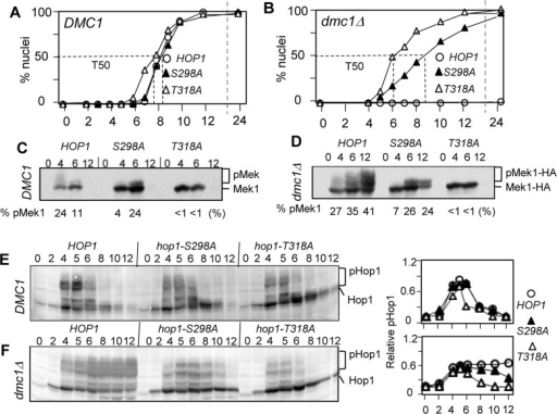 Hop1-S298 phosphorylation is required for dmc1Δ-dependent meiotic checkpoint response.(A) and (B). Fraction of cells undergone meiosis I (MI) in synchronous meiotic cultures of HOP1, hop1-S298A, and hop1-T318A at 23°C in a DMC1 or dmc1Δ background. T50: Time at which 50% of the active culture has completed MI. At least three separate timecourses were considered, for each set of strains for each background. T50 kinetics were calculated from the most representative timecourse for each set of strain and DMC1/dmc1 background. Errors were calculated from the 95% confidence interval of a binomial distribution. (C) and (D). Effects of hop1-S298A and hop1-T318A on Mek1-HA phosphorylation during DMC1 and dmc1Δ meiosis. Samples from the cultures described in panels (A) and (B) were subjected to Western blot analysis using anti-HA antibody. Positions of the unphosphorylated and phosphorylated Mek1-HA species are indicated to the right of the blot. '% pMek' corresponds to the proportion of phosphorylated Mek1-HA species in each lane calculated by dividing the signal found in the 'pMek1-HA' area of the gel by the total signal ('pMek1-HA' + 'Mek1-HA'). (E) and (F). Effects of hop1-S298A and hop1-T318A on Hop1 phosphorylation during DMC1 and dmc1Δ meiosis. Samples from the cultures described in panels (A) and (B) were subjected to Western blot analysis using anti-Hop1 antibody. Positions of the unphosphorylated and phosphorylated Hop1-species are indicated to the right of the blot. Shown on the right panels is quantification analysis of the Western images, where the signal in the 'pHop1' region in each lane is divided by the total signal ('pHop1'+ 'Hop1') in the corresponding lane.
