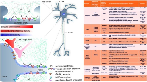 Summary of the known role of several proteases in rapid (requiring minutes to hours) changes in EPSP-to-spike (E-S) potentiation and/or neuronal spiking. A cartoon indicates the putative regions of CA1 pyramidal neuron where extracellular proteolysis may affect intrinsic neuronal excitability and E-S potentiation via (a) cleavage of extracellular matrix (ECM) constituents and modulation of ion channels; (b) modulation of inhibitory inputs efficacy (see text for details). The list of known targets of extracellular proteolysis and putative regions of action is listed in the table. N.D.- no data available.