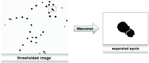 Overlapping items (fluorescence-labeled nuclei) can be separated using the watershed method. The image fromFigure 3 contains nuclei that are localized so closely together that they need to be separated by the watershed method describe in the main text.