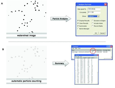Automatic nucleus-counting with ImageJ.A) Particle analysis;B) Automatic particle-counting based on the data generated by the watershed method.