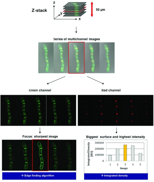 Correlation between the focal plane and the strongest signals in the red channel.Images are subsequently taken at different levels of the sample (Z-stack). The optimum sharpness of signals for RFP indicates the focus being set on nuclei. The determination of the sharpest image for the GFP signal provides an integrated optimum for the analysis of doubly transformed BY-2 cells.
