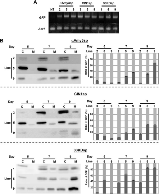 Gene expression of GFP in transgenic rice suspension cell cultures.A, Detection of GFP mRNA in non-transformed (NT) and selected transgenic rice suspension-cultured cells, including αAmy3sp-2, -5, and -9; CIN1sp-3, -5, and -9; and 33KDsp-1, -5, and -9. Total RNAs were isolated from NT and transgenic rice suspension-cultured cells, and then subjected to RT-PCR with specific GFP primers. The rice Act1 mRNA was used as an internal control. B, The proportion of medium GFP protein in various transgenic suspension cell lines. Total soluble proteins were extracted from each cell line, with a cell volume of 0.5 mL, in 1 mL of extraction buffer. A total of 1 mL of culture medium for each line was collected. Twenty microliters of total cellular protein (C) and 20 μL of total extracellular protein (M) were subjected to Western blot analysis using GFP antibodies. GFP proteins within cells and medium were detected, and compared with the total amount of GFP protein. The proportion of medium GFP for each independent cell line is presented as the total GFP in medium compared with the total GFP. A dark gray bar indicates medium GFP, while a light gray bar indicates cellular GFP. Error bars indicate the standard deviation of three Western blot replicates from two biological repeats.