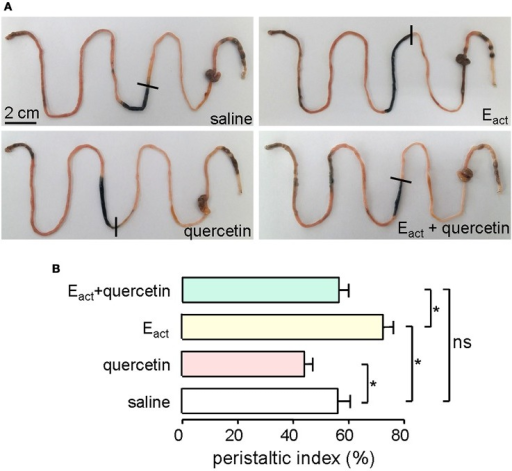 Inhibition of gastrointestinal movement by quercetin in mice. (A) Photographs of isolated mouse intestines showing traveled distance of activated charcoal after intraperitoneal administration of saline (negative control), Eact (50 μM), quercetin (200 μM) or quercetin (200 μM) plus Eact (50 μM). (B) Histogram comparing the peristaltic indexes from different treatments. Data are the means ± SEs from five experiments, *indicates the significant difference from control at the P < 0.05 level.