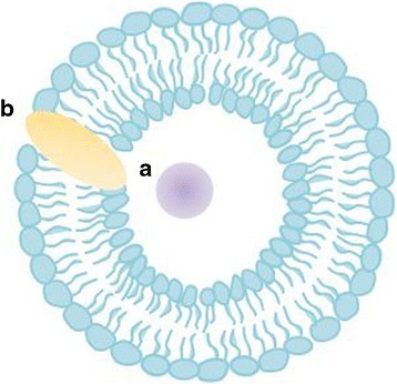Liposomes with a hydrophilic drug a encapsulated in the aqueous core and a hydrophobic drug b incorporated into the membrane
