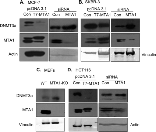 MTA1 regulates DNMT3a expression.(A) Western blot showing the levels of DNMT3a upon overexpression and silencing of MTA1 in MCF-7 cells. β-actin is showed as a control. (B) Western blot showing the levels of DNMT3a upon overexpression and silencing MTA1 along with the control in SKBR-3 cells. Vinculin is showed as a control. (C) Western blot showing the endogenous levels of DNMT3a and MTA1 and Vinculin in the wild type and MTA1−/− MEFs. Vinculin is used as a control. (D) Western blot showing changes in the levels of DNMT3a upon overexpression or silencing MTA1 in HCT116 cells. β-actin and vinculin serve as loading controls, respectively.