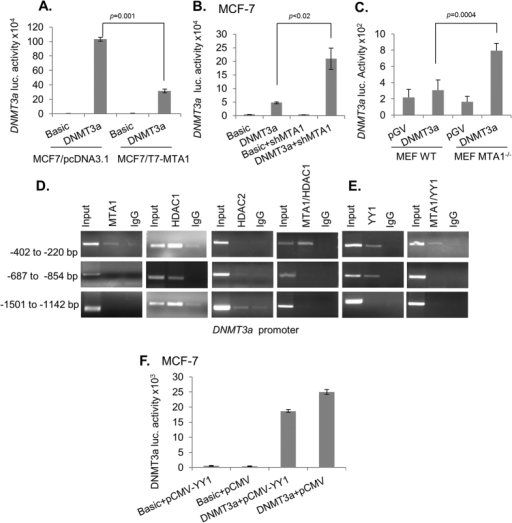 MTA1 represses DNMT3a transcription.(A) DNMT3a promoter activity in MCF-7/pcDNA3.1 and in MCF-7/T7-MTA1 cells. (B) DNMT3a promoter activity in MCF-7 and in MTA1-silenced MCF-7 cells. MCF-7 cells were transfected with pGL3-DNMT3a along with siMTA1 and DNMT3a-promo-Luc activity was measured. (C) DNMT3a promoter activity in MTA1+/+ and MTA1−/− MEFs. (D,E) Recruitment of MTA1 or HDACs or YYI or MTA1/HDAC1 or MTA1/YY1 complexes onto the DNMT3a promoter in MCF-7 cells as analyzed by ChIP or sequential ChIP (F). The effect of YY1 on DNMT3a-promoter activity was measured in MCF-7 cells. Results were presented in terms of relative luciferase activity and the values represent the mean of ± s.d. from three independent transfection experiments.