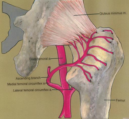femoral artery; medial femoral circumflex artery; later | Open-i