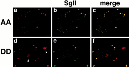 AA and DD VMAT2 differ in the extent of colocalization with SgII. PC12 cells stably expressing AA or DD VMAT2 were double stained for HA using secondary antibodies conjugated to Cy3 (a and d) and for SgII using secondary antibodies conjugated to Cy5 (b and e). The cells were then examined by confocal microscopy. The merged Cy3 and Cy5 images are shown in c and f. The AA mutant colocalizes strongly with SgII, primarily at the tips of cell processes. The DD mutant colocalizes with SgII in the tips of processes, but also exhibits strong perinuclear staining (arrowheads). Bar, 10 μm.