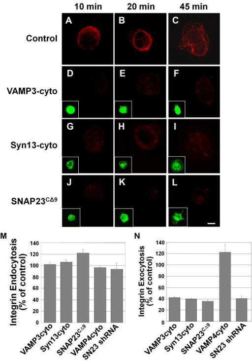 Dominant-negative SNARE domains inhibit β1 integrin exocytosis. CHO-K1 cells were transiently transfected for 21 h with GFP-tagged constructs of truncated syntaxin13 (Syn13cyto)[D-F], VAMP3 (VAMP3cyto)[G-I], VAMP4 (VAMP4cyto) or SNAP23 (SNAP23CΔ9 - 15 h transfection) [J-L]. Untransfected control cells are shown in A-C. HeLa cells were transfected with a SNAP23 shRNA construct (SN23 shRNA) for 72 h. Cells were incubated with β1 integrin antibody in serum free media for 3 h to allowing internalization of the label. Then the cells were lifted with trypsin, removing remaining surface label, and were plated on 20 μg/mL FN for 10 min (A, D, G, J,), 20 min (B, E, H, K,) or 45 min (C, F, I, L). For exocytosis assays, cells were fixed and any surface exposed labeled-integrin was stained with AlexaFluor 594 secondary antibody (A-L, data for 20 min of adhesion shown in N). Insets show expression of GFP-tagged constructs (D-L). Images are 3 D reconstructions of a z-series. Scale bar represents 10 μm. (M and N) Integrin immunofluorescent staining at 20 min. was quantified in micrographs using ImageJ software. (M) To assess endocytosis of labeled integrin, cells were permeablized with 0.2% Trition X-100 in PBS before staining with AlexaFluor 594 secondary antibody (percent of non-transfected control). (N) Labeled integrin detected on the cell surface in non-permeabilized cells (percent of non-transfected control). Means ± SEM from three independent experiments (at least 20 cells per experiment) are shown in M and N.