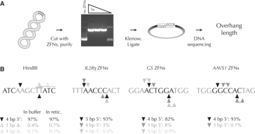 Analysis of the overhang types created by ZFNs. (A) Scheme to determine ZFN overhangs. A supercoiled plasmid with a ZFN cleavage site is cut by a titration of in vitro transcribed and translated ZFNs. ZFN-linearized plasmids are purified by gel electrophoresis, 5′ overhangs filled in with Klenow polymerase (grey nucleotides), and the resulting blunt ends ligated. The mixture is subjected to high-throughput DNA sequencing. (B) Overhang types generated by a control restriction enzyme (HindIII) and three of the ZFN pairs used in this work. For clarity, only one DNA strand is shown. Enzyme binding sites are shown in grey; only the flanking three nucleotides are shown for ZFN binding sites. Primary cleavage sites, black triangles; secondary and tertiary cleavage sites, dark and light grey triangles, respectively; deletions, Δ. Microhomology within the target site can prevent unambiguous deduction of the overhang type. In such situations the possible overhangs are shown as joined triangles. Either of the two indicated thymidine residues may have been deleted after HindIII digestion.