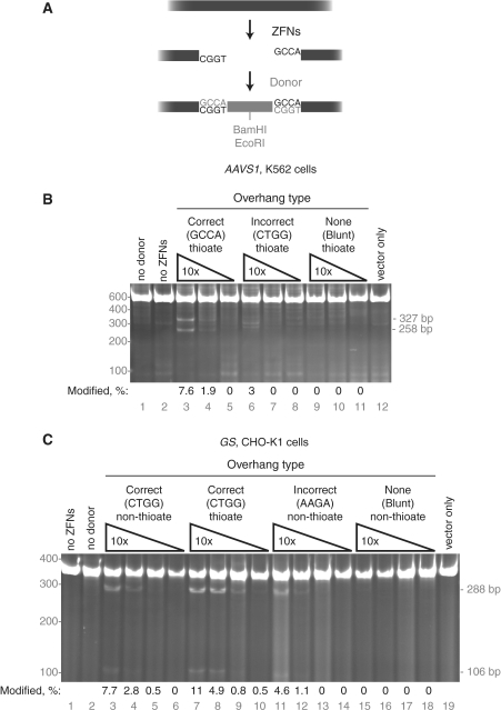 Targeted DNA integration via non-homologous end joining. (A) Diagram of ZFN cleavage at AAVS1 resulting in 4-bp 5′ overhangs followed by in vivo ligation of a complimentary-overhang donor. The donor contains both BamHI and EcoRI restriction enzyme sites. (B) NHEJ capture at the AAVS1 locus in K562 cells. Three 10-fold dilutions (40–0.4 µM) of donor DNA with the indicated overhang types were co-transfected with the AAVS1 ZFNs. The PCR amplicons were cut with EcoRI, producing 327 and 258 bp products from amplicons with insertion of the oligonucleotide. All donors in this experiment contain terminal phosphorothioate residues. (C) NHEJ capture at the GS locus in CHO-K1 cells. Four 10-fold dilutions of donor DNAs (40–0.04 µM) with the indicated overhang types and phosphorothioate usage were co-transfected with the GS ZFNs. The PCR amplicons were cut with BamHI, producing 288 and 106 bp products from amplicons with insertion of the oligonucleotide. For (B and C), the percentage of modified chromosomes is shown below each lane in black text; the position of the molecular weight markers used is shown in grey text on the left of the gel.