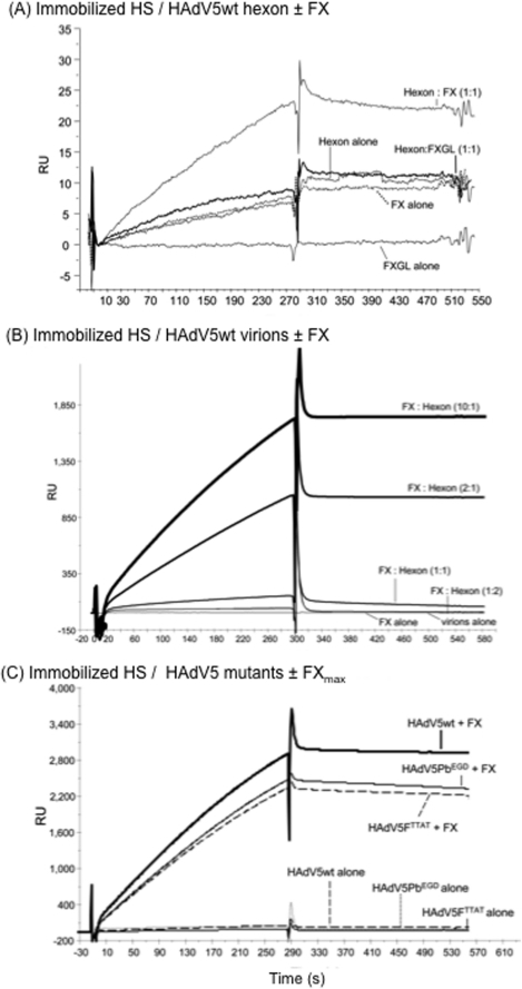 SPR analysis of the in vitro binding of HAdV5 hexon                            capsomeres and HAdV5-based vectors to immobilized HS with or without                            factor X (FX) bridging.Representative sensorgrams for (A) HAdV5 hexon capsomeres                            alone, or with FX or Gla domainless FXGL, (B) HAdV5wt                            virions alone or with FX, and (C) HAdV5 virion mutants                                HAdV5FTTAT and HAdV5PbEGD alone or with FX. In                            (A) and (B), the molecular ratio of FX to hexon protein (isolated                            capsomeres as in (A), or virion-encapsidated hexons, as in (B)) is                            indicated in parenthesis. The control sensorgrams with FX and FXGL alone                            were obtained at FX and FXGL concentrations of 8 µg/ml,                            corresponding to the concentration in human adult serum                                (FXmax). In (C), FX was also used at 8 mg/ml. Hexon                            capsomeres, HAdV5wt virions and HAdV5FTTAT and                                HAdV5PbEGD mutants bound to immobilized HS only in the                            presence of FX. RU, response units.