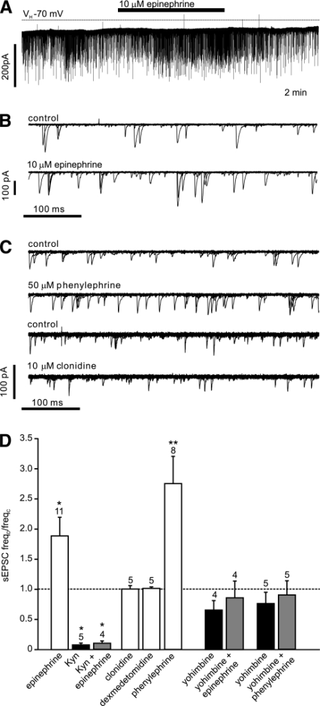 Epinephrine acts on α1-adrenoreceptors and increases the frequency of spontaneous glutamatergic EPSCs. A: Voltage-clamp recording from a PPG neuron at a holding potential (VH) of −70 mV demonstrating the effects of epinephrine on sEPSCs. B: Overlay of 15 consecutive 500 ms traces from the recording shown in A under control conditions (top) and in the presence of epinephrine (bottom). C: Overlay of 15 consecutive 500 ms traces under control conditions and in the presence of phenylephrine or clonidine, respectively, as indicated above each overlay. Phenylephrine, but not clonidine, led to an increase in sEPSC frequency. D: Mean normalized effects of epinephrine and selective α1- (phenylephrine) and α2- (clonidine, dexmedetomidine) adrenoreceptor agonists on sEPSC frequency. The mean sEPSC frequency in presence of the drug (freqD) as a fraction of the frequency in the absence of any drug (freqC) is plotted. The effect of epinephrine is blocked by the glutamate receptor antagonist kynurenic acid (Kyn) and by the α-adrenergic receptor antagonist yohimbine. Yohimbine also blocked the effect of phenylephrine. Kyn itself blocked the majority of sEPSCs. *P < 0.05, **P < 0.01, compared with control. Numbers of cells tested are given above the bars.