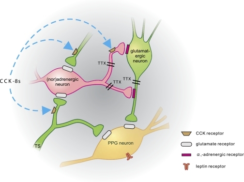 Schematic representation of synaptic inputs to PPG neurons. PPG neurons (yellow) express leptin receptors (Hisadome et al. [19]) and receive direct glutamatergic input both from the tractus solitarius (TS; TTX-insensitive; Hisadome et al. [(19)]) and local glutamatergic neurons (green; TTX-sensitive). Input from adrenergic/noradrenergic neurons (pink) is indirect via α1-adrenergic receptors, activation of which enhances glutamatergic input to PPG neurons. CCK enhances the activity of PPG neurons. Its effect is occluded by either α-adrenergic receptor antagonists or non-NMDA glutamate receptor antagonists. Thus, it acts either on (nor)adrenergic cells or presynaptic from those, as suggested by Baptista et al. (37).