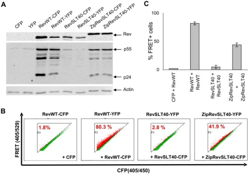 FRET measurement of Rev oligomer formation.(A) Expression level and trans-activation capacity of Rev-CFP and Rev-YFP fusion proteins. COS cells were transiently cotransfected with the Rev reporter plasmid pGPV-RRE and the indicated trans-activator constructs. At 24 h post-transfection Rev-dependent expression of HIV-1 structural proteins p55Gag and p24Gag, the respective Rev trans-activators and actin (gel loading control) was detected by Western blot analysis using specific antibodies. (B) Representative FACS plots illustrating the percentage of FRET positive cells. COS cells were transiently transfected with expression vectors for control CFP and RevWT-YFP, or the indicated combinations of Rev donor and acceptor constructs. To provide RRE RNA the plasmid pGPV-RRE was included in each transfection. At 24 h post-transfection cells were harvested and analyzed by flow cytometry for Rev:Rev interaction, represented as FRET positive cells. (C) Mean percentage of FRET-positive cells (adjusted to the background) determined in FRET-FACS experiments.