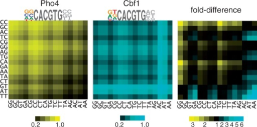 Heatmaps showing relative occupancy by Pho4 and Cbf1 at all 256 variants of the binding site NNCACGTGNN; rows indicate the 5′ dinucleotide, columns the 3′ dinucleotide. Occupancies for Pho4 and Cbf1 (left and center, respectively) are based on the relative free energies of binding for dinucleotides flanking the CACGTG core (8), with the assumed protein concentration adjusted so the mean occupancy among all sites is 0.5. The fold-difference between Pho4 and Cbf1 occupancies is shown in the panel on the right, with motifs having higher occupancy for Pho4 shown in blue and those with higher occupancy for Cbf1 shown in yellow. The sequence logos for Pho4 and Cbf1 are based on a consensus CACGTG core plus flanking base preferences that are derived from a linear regression of the experimentally measured free energy differences for the 16 dinucleotide free energy values (8). The result is a best-fit estimation for the relative contributions to binding of each of the four bases at each of the two positions.