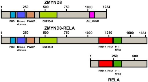 Diagram showing the domains of ZMYND8, RELA and the fusion ZMYND8-RELA protein.