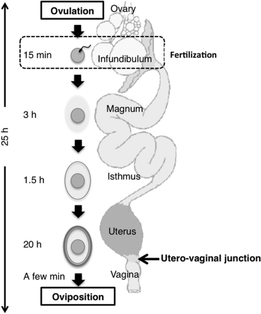 Schematic Drawing Of An Avian Oviduct After Ovulation Open I