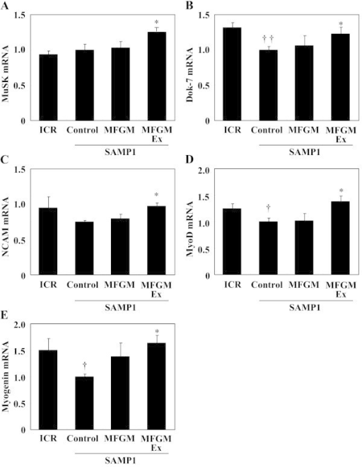 Effects of milk-fat globule membrane (MFGM) on expression of genes associated with nervous system development and function-related molecules. mRNA expression levels of MuSK (A), Dok-7 (B), NCAM (C), MyoD (D), and myogenin (E) were measured using quantitative real-time PCR. Expression of each gene was normalized against that of the housekeeping gene encoding ribosomal protein, large, P0 (RPLP0/36B4). Values are means ± S.E. of 7 or 8 mice. ††P < 0.01 and †P < 0.05, significant difference between ICR group and control SAMP1 group by unpaired t-test. *P < 0.05, significant difference vs. control SAMP1 group by Fisher's PLSD posthoc test. Values are expressed as ratios, using the value of the control SAMP1 group as 1.0. MuSK, muscle skeletal receptor-tyrosine kinase; Dok-7, docking protein-7; NCAM, neural cell adhesion molecule; MyoD, myogenic differentiation; MFGMEx, MFGM plus habitual exercise.