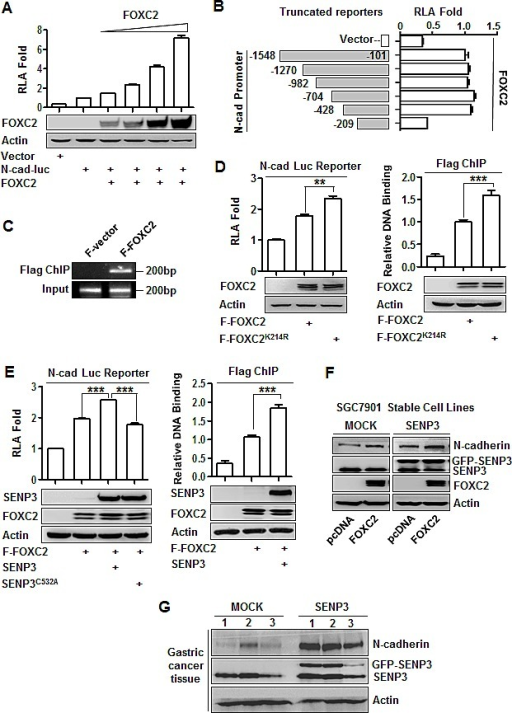 SENP3 upregulates the transcription of N-cadherin through de-SUMOlyation of FOXC2(A) Luciferase reporter assay in HEK293T cells co-transfected with the vector/N-cadherin promoter reporter and different doses of FOXC2. Relative luciferase activity (RLA) was shown as mean±SEM of three independent experiments. (B) The constructs of a series of N-cadherin promoter reporter with various truncations (left) and luciferase reporter assay (right) in HEK293T cells that were co-transfected with the vector/the reporter truncates and FOXC2. (C) Flag ChIP assay using the antibody against Flag and the primer of the N-cadherin promoter region −428/−209 in HEK293T cells that were transfected with the Flag-tagged vector (F-vector) / Flag-tagged wild-type FOXC2 (F-FOXC2). (D, E) Luciferase reporter assay (left) and Flag ChIP (right) in HEK293T cells that were transfected with F-FOXC2 /SUMO-less mutant of FOXC2 (F-FOXC2K214R) (D), or together with wild-type/dominant negative mutant of SENP3 (E). Both assays were repeated three times and the results were shown as mean±SEM. **: P < 0.01; ***: P<0.001. (F) The N-cadherin protein levels in the stable cell lines SGC7901-MOCK and SGC7901-SENP3 that were transiently transfected with FOXC2. (G) The SENP3 and N-cadherin protein levels in the representative gastric cancer tissue lysates.
