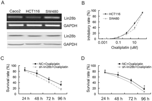 Repression of LIN28B sensitised SW480 and HCT116 cell to oxaliplatin-induced cytotoxicity.(A) RT-PCR and Western blot analyses evaluated LIN28B expression levels in Caco2, SW480 and HCT116 cells. (B) SW480 and HCT116 cells were plated in 96-well plates and were incubated with the indicated concentrations of oxaliplatin. Cell viability was assessed using a CCK-8 assay kit after 72 h of exposure to the drug or diluent control. IC50 values were calculated after curve fitting using the XLfit software. (C–D) HCT116 and SW480 cells were transfected with NC or si-LIN28B 24 h prior to oxaliplatin (IC50 value) treatment. The inhibitory rate, normalised to NC, was calculated using CCK-8 absorbance at the indicated time points. The data are represented as the mean fold change ± SE (n = 3; Student's t-test).