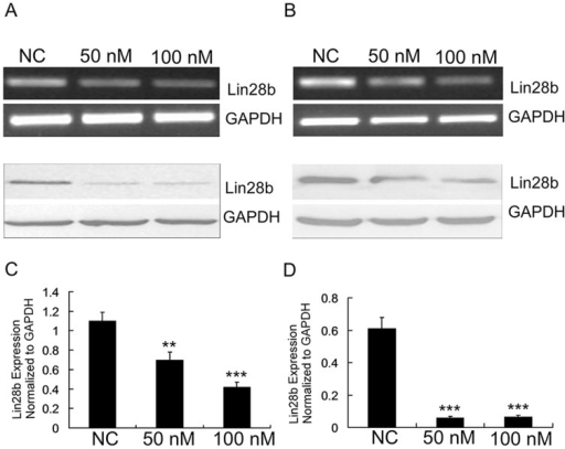 si-LIN28B efficiently inhibited the expression of LIN28B in HCT116 and SW480 cells.(A–B) RT-PCR and Western blot analyses confirmed the efficiency of sh-LIN28B knockdown in HCT116 and SW480 cells. (C–D) A qRT-PCR analysis also confirmed the downregulation of LIN28B mRNA in these cells. The data are represented as the mean ± SE (n = 3; Student's t-test).