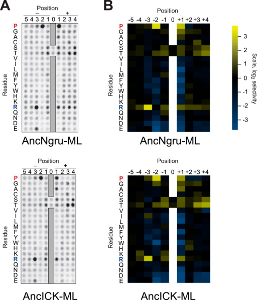Raw data and selectivity values for full positional scanning peptide arrays of AncLF4 and AncICK.(A) Raw PSPL result for maximum likelihood reconstructions of AncNgru and AncICK. (B) Averaged, quantified selectivity values for two replicate runs of the kinases shown in (A). Data were collected and processed as in Figure 1—figure supplements 1 and 2.DOI:http://dx.doi.org/10.7554/eLife.04126.012