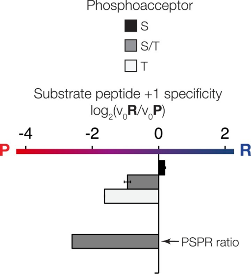 The phosphoacceptor affects the +1 specificity of ICK. ICK kinase was incubated with 45 μM peptide and initial velocities measured.Bars show the log2 ratio of +1R/+1P initial velocities (V0R/V0P). Black and white bars indicate that ICK was incubated with peptides that contain serine and threonine respectively as phosphoacceptor. The gray bar indicates an equal mix of serine and threonine as phosphoacceptor. The lower gray bar is ratio data taken from the PSPL array in Figure 1—figure supplement 1 i.e. a ratio of phosphate incorporation into Y-A-X-X-X-X-X-S/T-R-X-X-X-A-G-K-K-biotin vs Y-A-X-X-X-X-X-S/T-P-X-X-X-A-G-K-K-biotin peptides, where S/T indicates an equal mixture of serine or threonine as phosphoacceptor and X indicates an equal mixture of all amino acids except C, S, or T at all other positions except +1 and the terminal linker amino acids.DOI:http://dx.doi.org/10.7554/eLife.04126.015