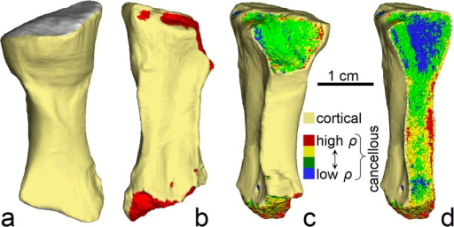 Three-dimensional finite element models of the radius of Ossinodus.(a) Complete homogenous model in oblique posterolateral view; extent of proximal articulation surface shown in grey. This was the model used to assess fracture mechanics in the radius. (b) Incomplete homogenous model in anteromedial view; red shows exposed (homogenous) cancellous bone. (c) Incomplete heterogenous model in posteromedial view. (d) Incomplete heterogenous model in posteromedial view, sectioned in the mediolateral plane to illustrate variation in material properties within the volume of cancellous bone.