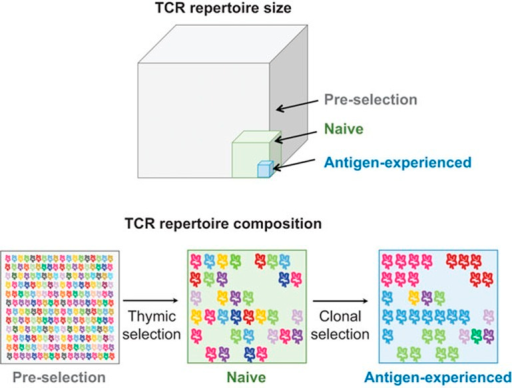 Size and composition of the pre-selection, naive and antigen-experienced repertoires. TCR diversity is greatest in the pre-selection repertoire (gray). Positive and negative selection in the thymus purges the pre-selection repertoire of most specificities, creating a peripheral naive repertoire that is substantially less diverse (green). In the periphery, antigen exposure further narrows the repertoire over time leading to clonal expansion of antigen-specific populations (blue). TCR diversity is largely preserved throughout the human lifespan, except in infancy and old age, but the net distribution of TCR clonotypes is altered. TCR, T cell receptor.