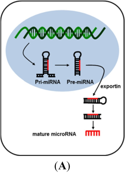 Biogenesis of microRNA (A) and transcriptional inhibition by microRNA (B). MicroRNA is transcribed from microRNA genes by RNA polymerase II into primordial-microRNAs. Segments of pri-miRNA contain a stem-loop structure that can be recognized by DiGeorge Syndrome Critical Region gene 8 (DGCR8) proteins for subsequent processing by RNase type III Drosha to produce pre-microRNAs. The hairpin-contained pre-microRNAs are then exported from the nucleus to the cytoplasm by a protein complex containing exportin-5 and RNA-GTP. In the cytoplasm, pre-microRNAs are further sliced by RNase type III Dicer, eliciting double-strand, ~22 nucleotide-long, mature microRNAs. After the duplex mature microRNA unwinds, degradation of the other strand follows. The single stranded mature microRNA within the RISC complex can subsequently act as a binding site to the messenger RNA (mRNA) targets. Perfect or nearly perfect complementarity to the 3′ UTR of mRNA results in cleavage of the mRNA targets. Partial complementarity of miRNA results in translational inhibition.