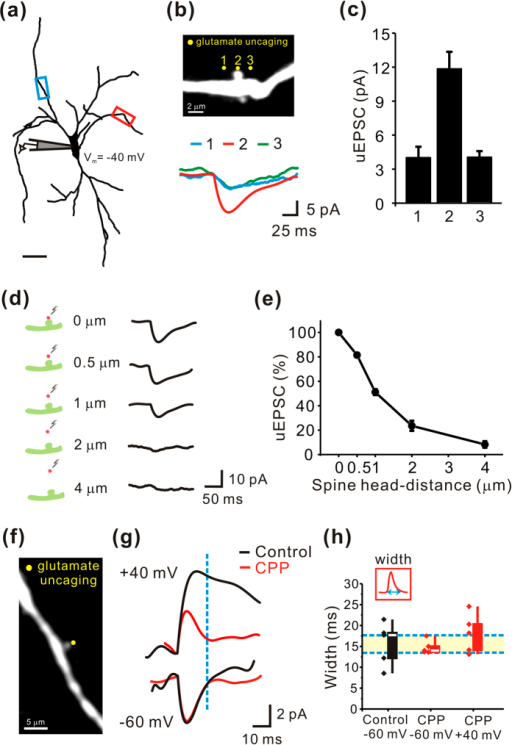 Functional identification of glutamatergic spine synapses in the SNc dopamine neurons.Single uEPSCs from a single dendritic spine were measured using two-photon glutamate uncaging. (a) Reconstructed image of a recorded neuron filled with Alexa Fluor 594 with two recording sites. (b) Top, high-magnification image of the target dendritic segment indicated by the red box in a. Yellow dots indicate uncaging sites. Bottom, representative traces of uncaging-evoked EPSCs. (c) Summary of recordings from 4 spines in 4 cells. (d) Left, illustration of the target dendrite from the red box indicated in a. Red dots indicate the uncaging locations with distance from the dendritic spine head. Right, representative traces of uncaging-evoked EPSCs. uEPSCs decreased as the uncaging spot was moved away from the spine head. (e) The first point corresponds to data obtained by uncaging on the spine head. Each subsequent point was normalized to this point (n = 5). (f) Monochrome image magnifying the target dendritic segment indicated by the blue box in a. (g) Representative traces of uncaging-evoked EPSCs in the absence (black) and presence (red) of CPP. (h) Summary of the widths of uEPSCs. AMPAR EPSCs were recorded at −60 mV in the absence (black, n = 5) or presence (red, n = 5) of CPP and at +40 mV in the presence of CPP (red, n = 5). The amplitudes of the NMDAR EPSCs were measured at 14 ms after the onset (blue dotted line), when the AMPAR EPSCs had returned to baseline.