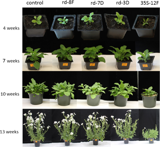 Phenotypes of LeNCED-overexpressed petunia. The seedlings from non-transformed control, transgenic rd29A:LeNCED1 lines 8F, 7D, 3D, and CaMV-35S:LeNCED1-12F were grown in UC Mix soil in greenhouse. Daily irrigations were provided to maintain optimal non-stress growth conditions. Photographs were taken at different stages of development (4, 7, 10, and 13 weeks after sowing).