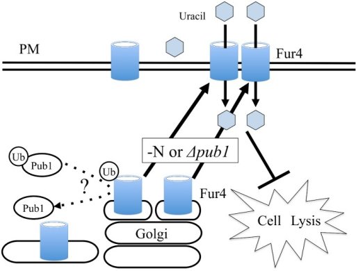 Proposed model for interaction of Pub1 and Fur4.The uracil transporter Fur4 localizes to Golgi or vacuoles under normal growth conditions and shifts to the plasma membrane when nitrogen is consumed. Fur4 is also localized to the plasma membrane when the pub1 gene is deleted. Increased uracil uptake in pub1 mutants by the accumulated Fur4 localization in the membrane rescues the cell lysis phenotype. Ubiquitination of Fur4 is observed, but the mechanisms underlying Pub1 regulation of Fur4 localization remains to be determined. PM, Plasma Membrane.