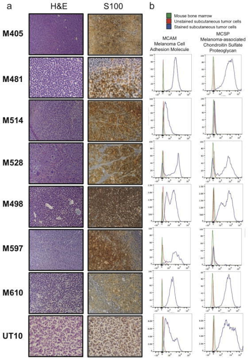 Expression of melanoma markers by xenografted melanomasa) M405, M481, M514, M528, M498, M597, M610, and UT10 tumours were consistently positive for S100, a marker used clinically to diagnose melanoma. b) Flow cytometric analysis of xenografted tumour cells that were HLA-ABC+ and negative for mouse CD31/CD45/Ter119 showed that these cells were usually positive for Melanoma Cell Adhesion Molecule (MCAM) and Melanoma-associated Chondroitin Sulfate Proteoglycan (MCSP). Both of the tumors that lacked MCSP staining (M514 and M597) were heavily pigmented and expressed other melanoma markers (such as S100 and MCAM).