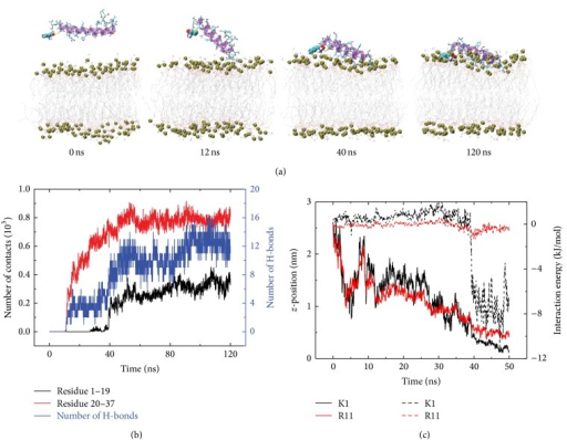 Detailed analysis of a representative MD trajectory of hIAPP adsorption to POPC bilayer surface, starting from the initial state S(0). (a) Snapshots at t = 0, 12, 40, and 120 ns. Each snapshot is displayed using the same representations as those used in Figure 1. (b) Time evolution of the number of contacts and the number of H-bonds between hIAPP peptide and the POPC lipid bilayer. (c) Time evolution of z-position and interaction energy between lipid bilayer and the negatively charged residues K1 (black) and R11 (red). The solid and dashed lines correspond to z-position and interaction energy, respectively. We only present the data of first 50 ns in order to show the initial adsorption process clearly.