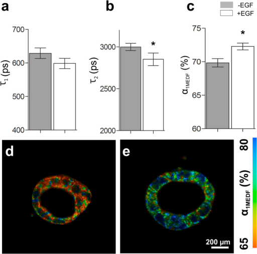 FLIM characteristics of 3D Caco-2 luminal cysts.(a) EGF induces a significant decrease in the short fluorescence lifetime τ1 of NADH (n = 4, *p = 0.002). (b) EGF treatment induces a significant decrease in τ2 (n = 4, *p = 0.0391). (c) Treatment of 3D Caco-2 models with EGF induces an increase in the short fluorescence lifetime contribution α1MEDF (n = 4, *p = 0.0213). (d,e) False color-coded images of (d) untreated and (e) EGF-treated 3D Caco-2 luminal cyst models indicating the range of α1MEDF from 65% (red) to 80% (blue).